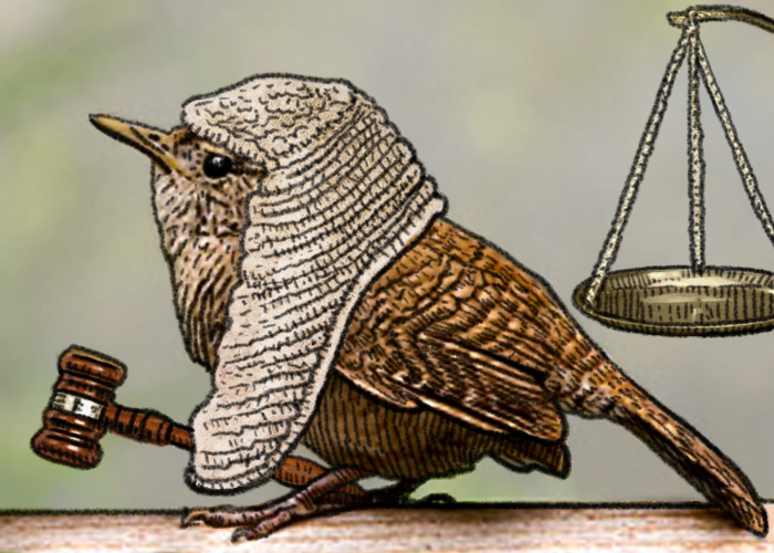 What do you call a small bird judge...?
